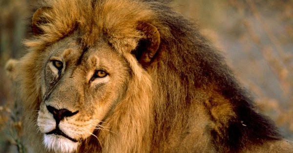 South Africa Legal Rhino Horn Market moreover Lion Cubs African Free Hd Wallpapers Downloaded likewise Dugong Facts moreover 7097 as well African Outline. on african animals