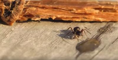 hormiga borracha