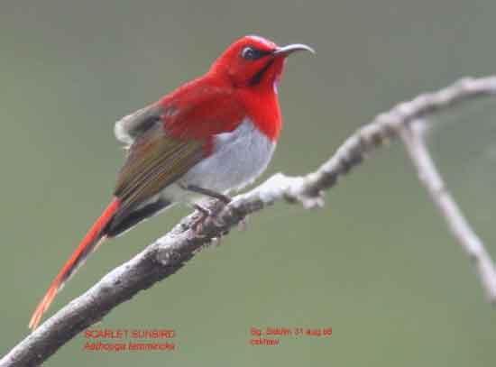 Kolibri Jawa - Jenis Burung Kolibri Yang Terkenal