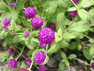 Manfaat dan Khasiat dari Bunga Kenop