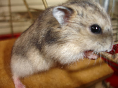 Hamsters chines