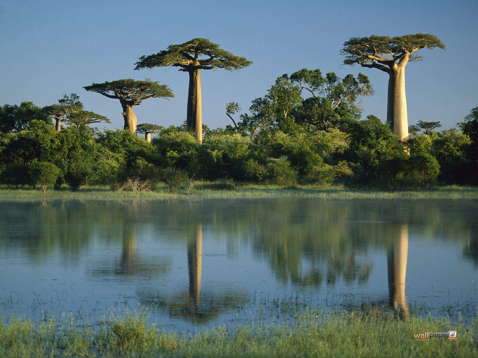 http://3.bp.blogspot.com/-4Nqvuz916mw/TmePzpcX31I/AAAAAAAAAQw/VSQ-e8jY-uw/s1600/Baobab-Trees-Reflected-in-Wetlands-Morondava-Madagascar-Wallpaper.jpg