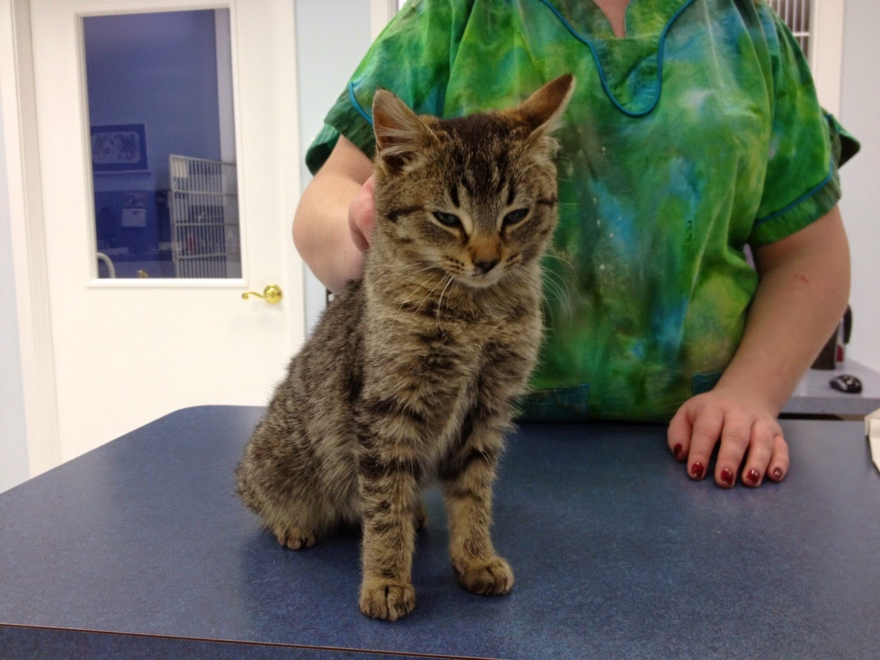 Disease distemper in cats: photos, incubation period, effects 24