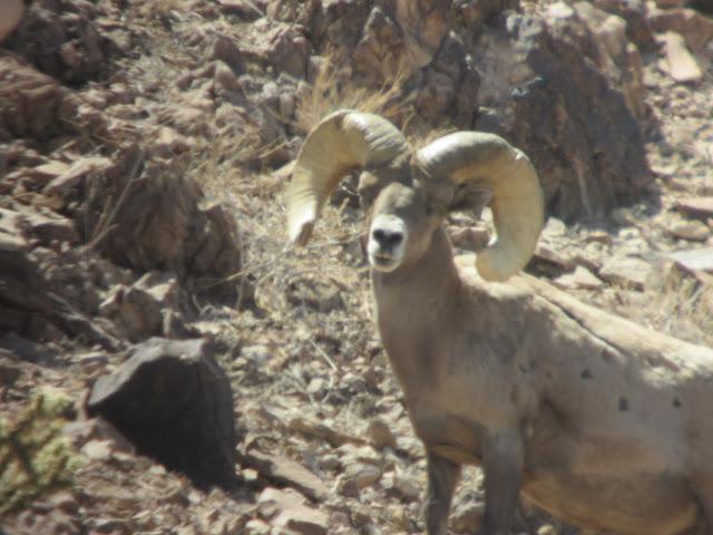 AZ+Desert+Bighorn+Sheep+Scouting+Pics+by+Colburn+and+Scott+Outfitters+1.JPG