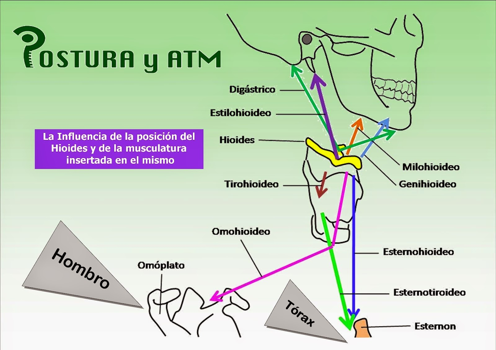Rehabilitacion Musculo Esqueletica: Hioides !!