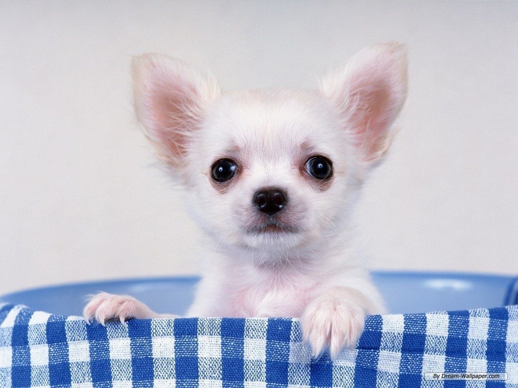 Pets Lovers: Chihuahua Dog