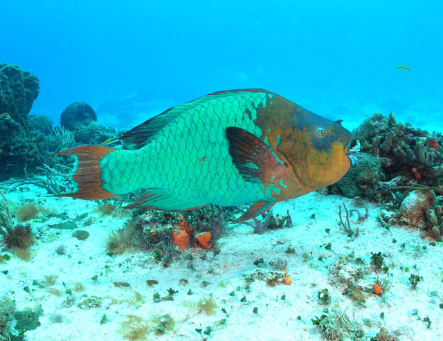 أجمل 10 أسماك ملونة في عالم البحار '' بالصور '' Rainbow-Parrot-Fish1
