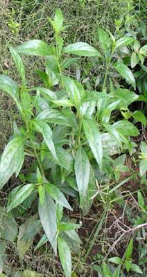 barleria prionitis linn Barleria prionitis linn [family acanthaceae] uses leafy twigs leaf-sap medicines: arthritis, rheumatism, etc medicines: ear treatments medicines:.