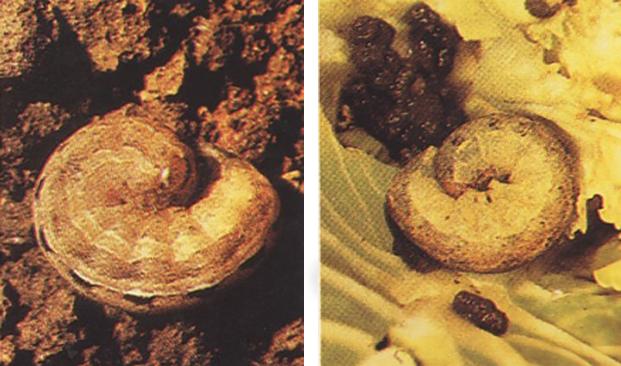 Ulat tanah (Agrotis sp.)