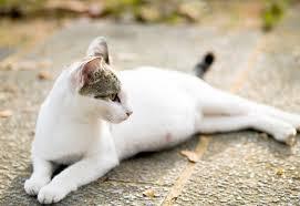 Mèo cái đang mang thai