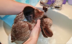 Baby monkey's first bath is adorable!