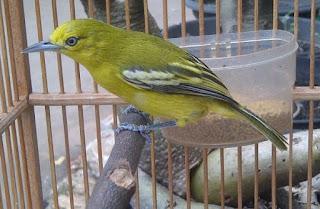 cara-merawat-burung-sirtu-cepat-gacor_32265