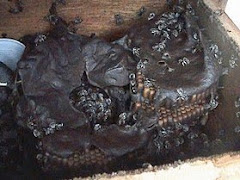 interior de um ninho de tiuba,bela foto ,autor desconhecido