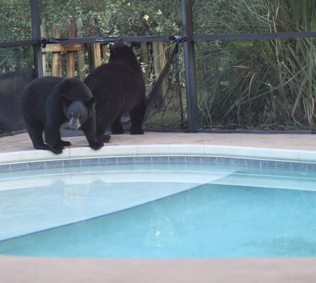 Christopher tozier children 39 s author florida black bears in swimming pool for Bears in swimming pool new jersey