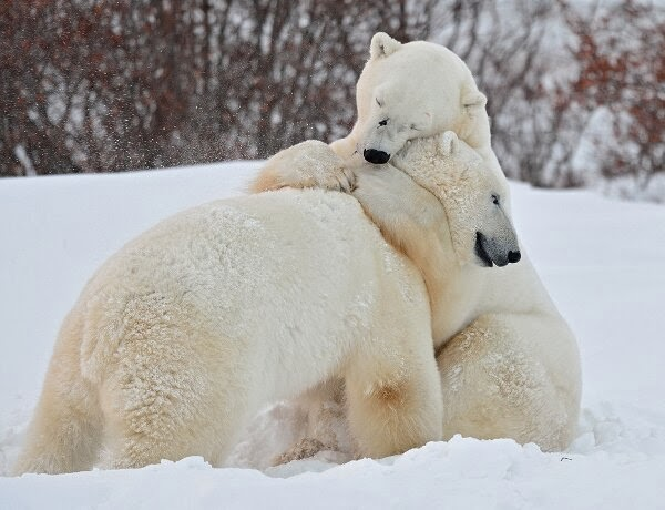 Funny animals of the week - 17 January 2014 (40 pics), polar bears in the snow hugging
