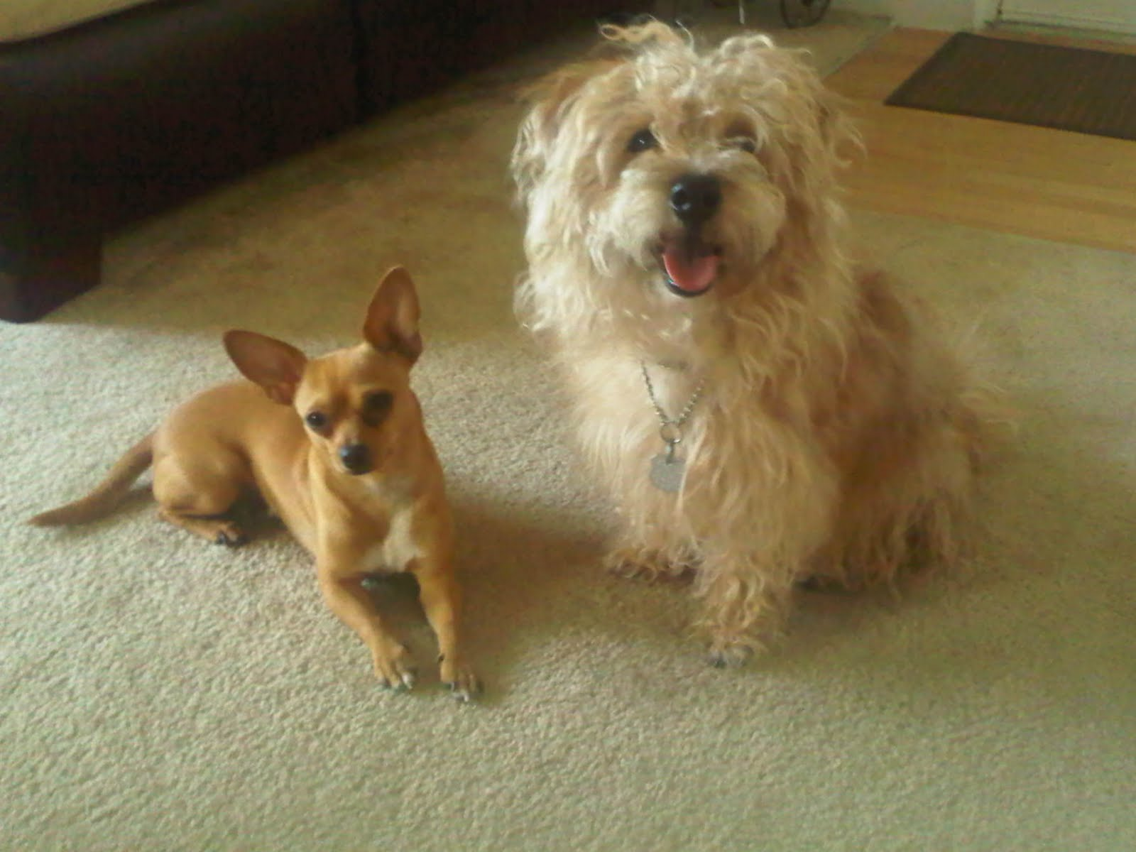 Animals in Baths: Abbie the Chihuahua and Gizmo the Poodle/Maltese Mix