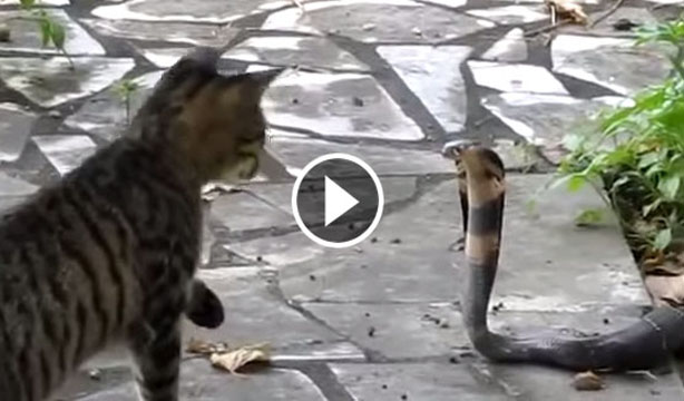 King Cobra Eating Cat