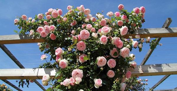 Vivero de rosales en valencia guia de jardin for Viveros el rosal