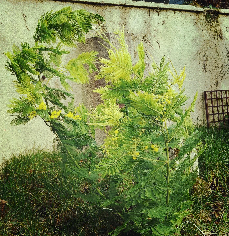 Derri re les murs de notre jardin le mimosa est en fleur for Derriere les murs de mon jardin