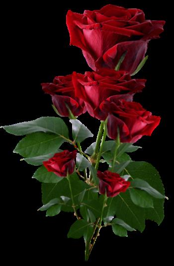 Rosa vermelha 3 png