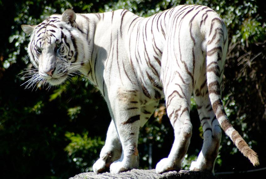 White Tiger | The Bigg...