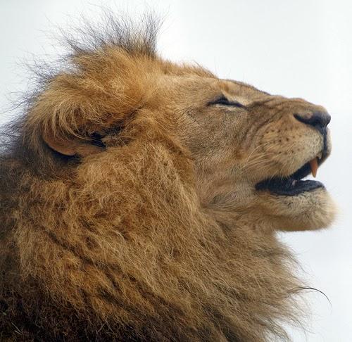 Lion side view face roar - photo#11