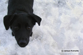 animal chien labrador noir