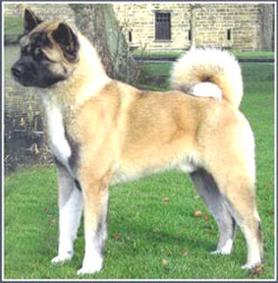 DOGS LIFE: Fully grown Akita