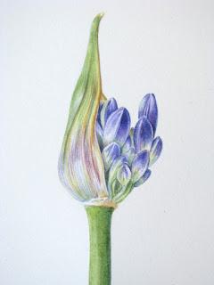 Agapanthus bud, Shevaun Doherty, botanical art