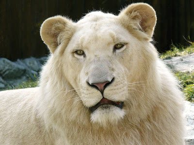 león blanco (Panthera leo krugeri).