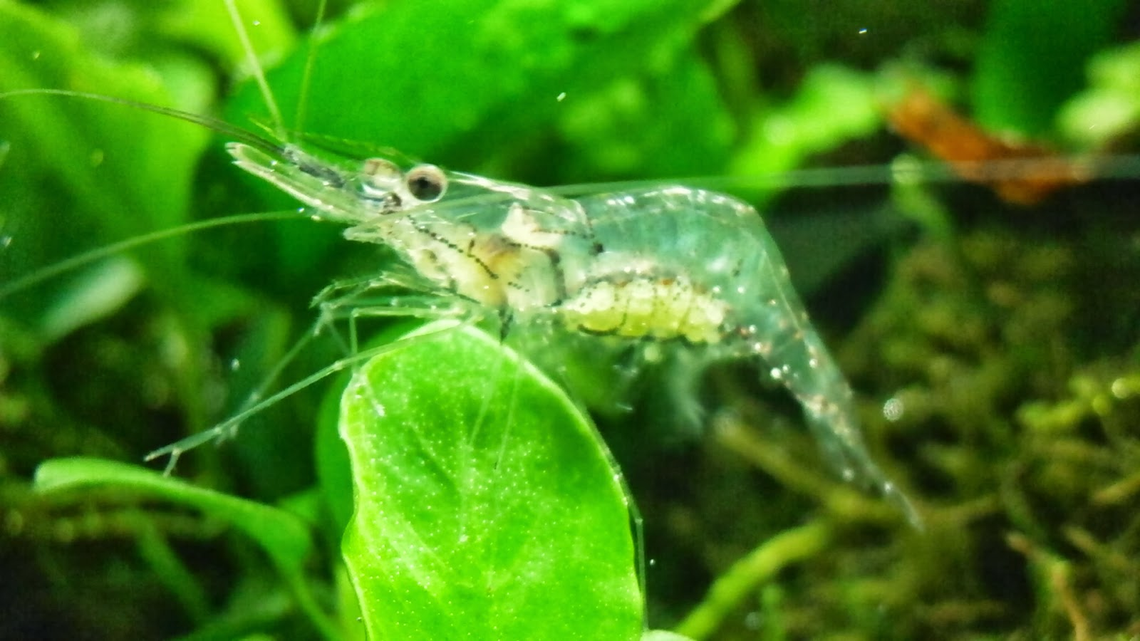 Its All About Aquascaping!: Ghost Shrimp ( Palaemonetes)