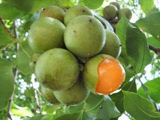 Huaya es la fruta que cura el Cáncer