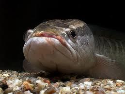 Kepala ikan gabus