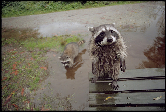 funny animal pictures, cute raccoons