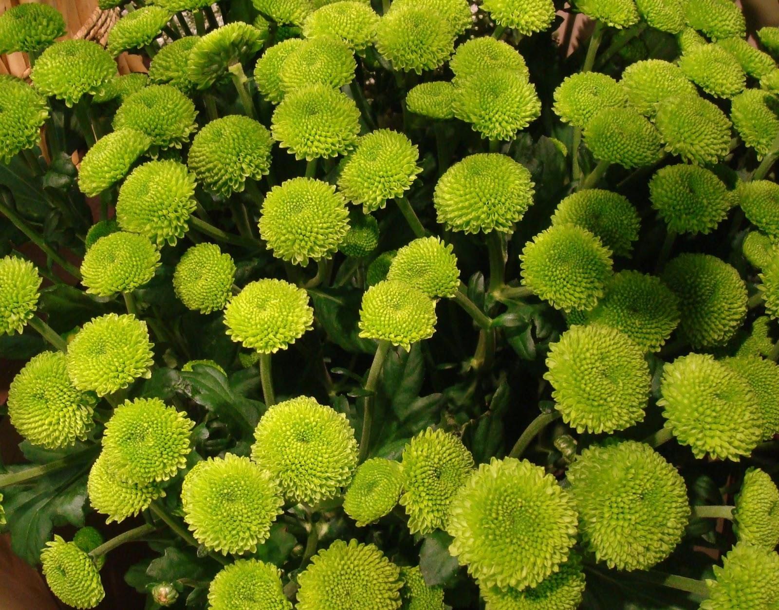 fleuriste isabelle feuvrier o 249 trouver des plants de chrysanth 232 mes feeling green santini ou