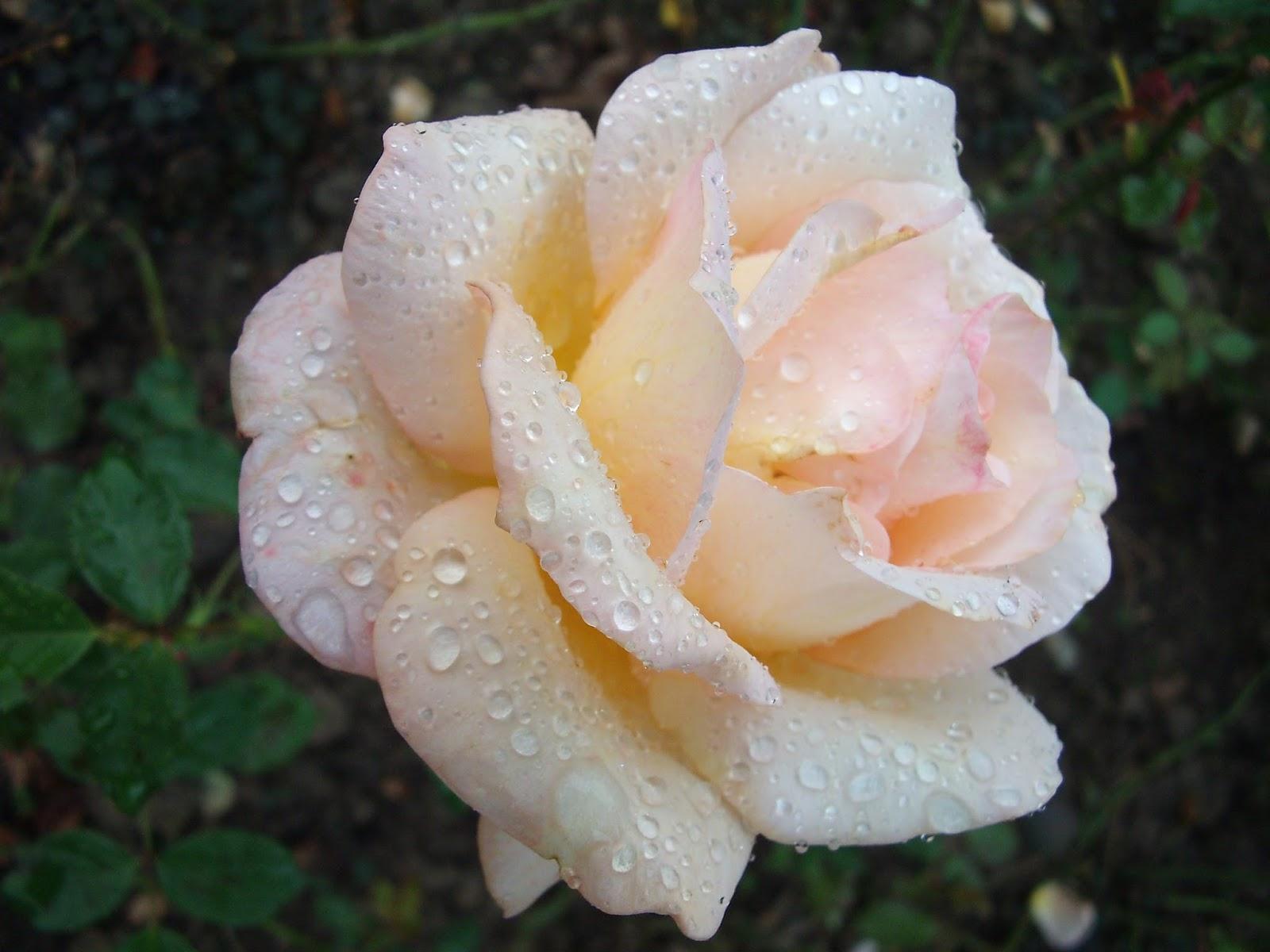 http://3.bp.blogspot.com/-4Rd0wq3DO1g/VcbjfKfRYzI/AAAAAAAAW4I/nztmsdyzz6M/s1600/rose-blanche-mouillee_1.jpg