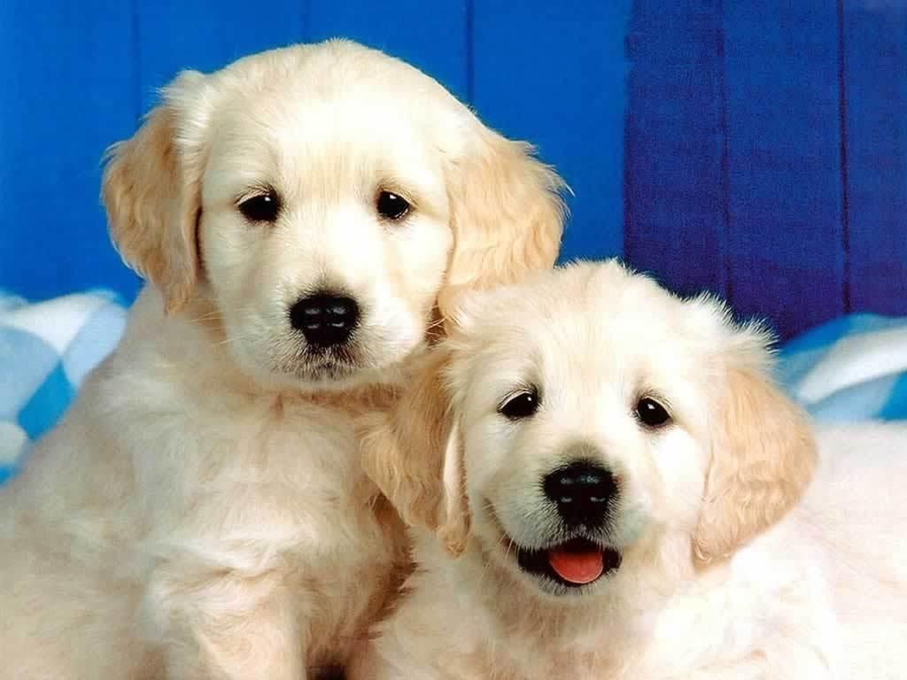 Cute Two White Puppy DogCute White Dog Wallpaper