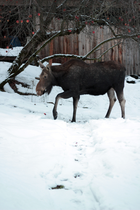 moose in backyard