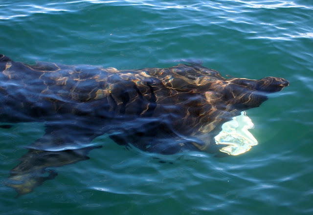 View of a Basking Shark from the boat - Isle of Coll, Scotland