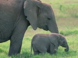 elefante africano - Loxodonta africana