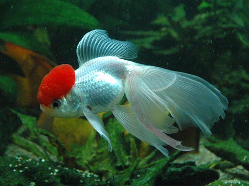 Pezfilia peces de agua fr a for Carpas para acuario