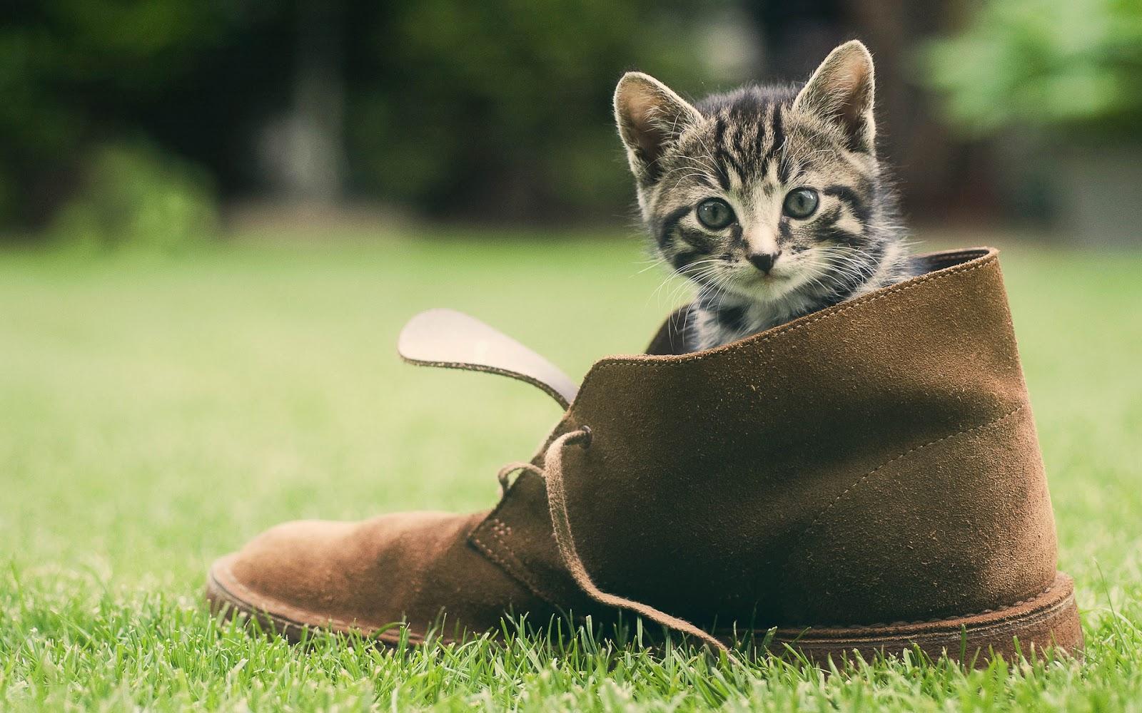 Gatito en una Bota wallpapers de gatos