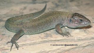 lagarto de arena Lacerta agilis