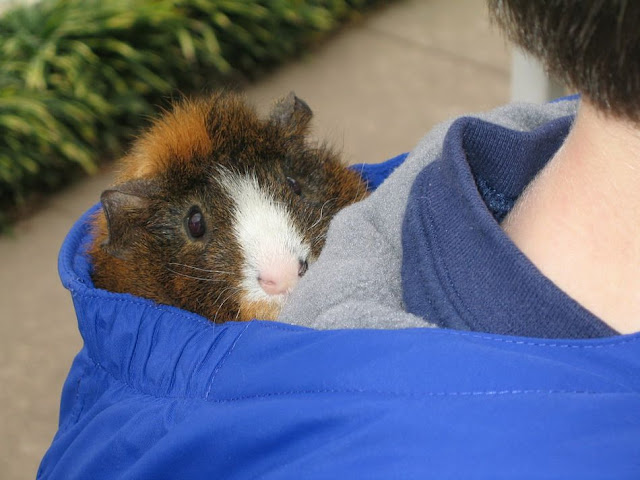 cute guinea pig, funny animal pictures, animal photos, funny animals