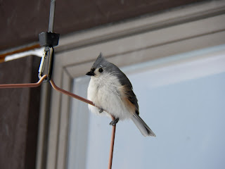 Tufted Titmouse (Baeolophus bicolor) Stocking up Before the Storm