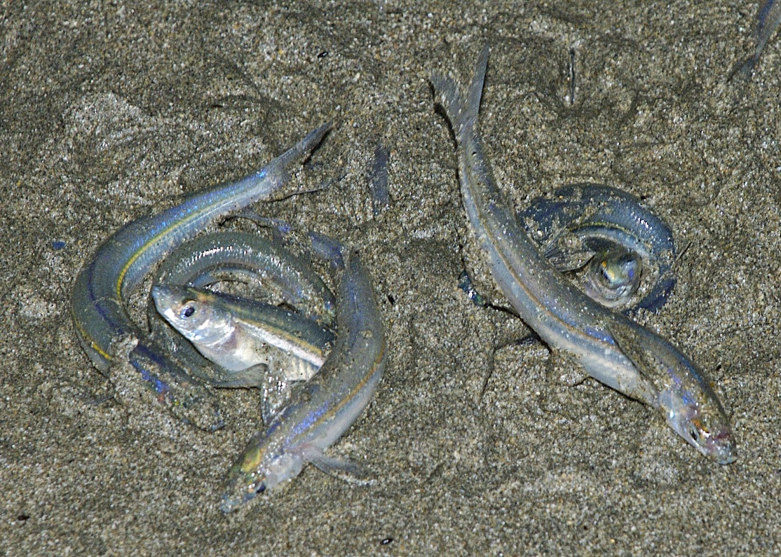 grunion fertilization dance