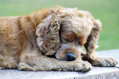 Chó tự cắn ngón chân mình