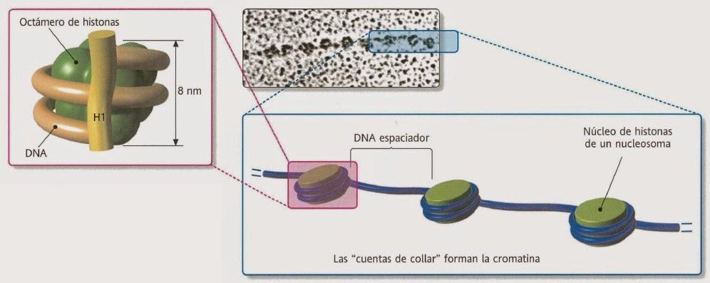 Reparación del ADN   Apuntes de Bioquímica
