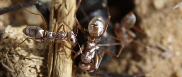 Le saviez-vous?Cataglyphis Supersonicus Bombycinus, la fourmi la plus rapide de la planète Cataglyphis-bombycina-couleur-argent