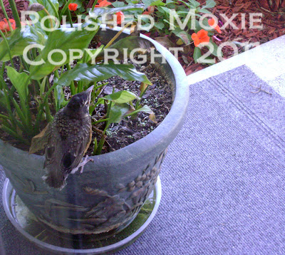 Picture of baby robin sitting on a potted plant